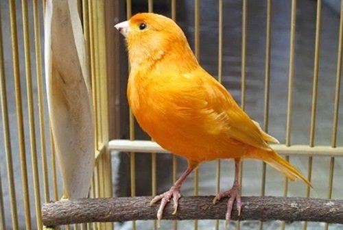 SIKEMPRUS.XYZ – Download MP3 suara burung kenari gacor durasi panjang terbaik. Memelihara hewan merupakan salah satu kegiatan yang sangat menyenangkan, apa lagi kalau sudah menjadi hobi