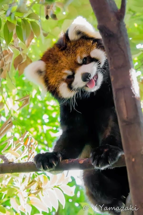 All About Red Panda