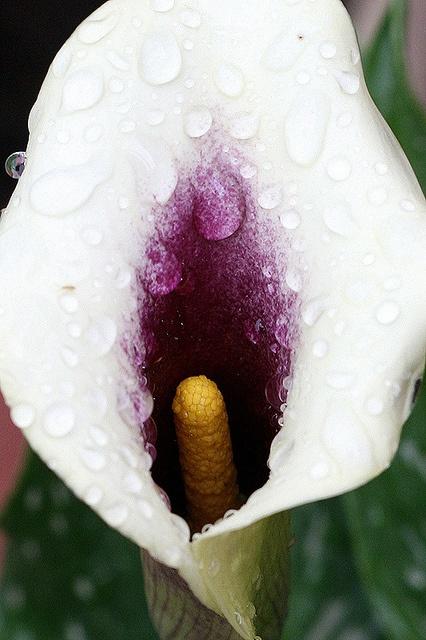 white and purple calla