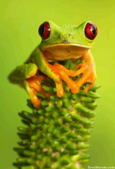 14 best images about red eyed tree frogs on pinterest for Frog agency