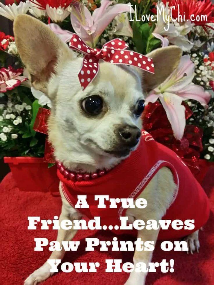 Crying Chihuahua Meme Video