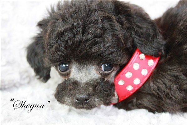 Omg! Look at this silver Teacup POODLE PUPPY! Teacup Poodles for Sale in Texas