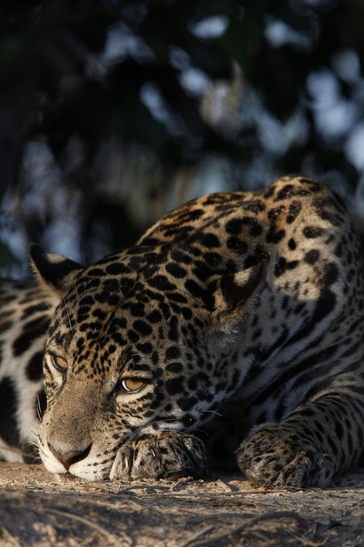 """Sleepy cat © Steve Winter, Panthera A resting jaguar in the Brazilian Pantanal. There is currently one known jaguar in the United States, a male known as """"El Jefe."""" Arizona is in the northern reaches of jaguar range; the next northernmost breeding population is in Mexico's Sonora state. According to Howard Quigley of the big cat conservation group Panthera, the two greatest threats facing jaguars throughout their range are habitat loss and retaliatory killings for the loss of livestock."""