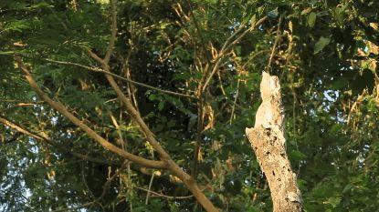 El nictibio o pájaro fantasma pasa sus días colgado en lo alto de los troncos de los árboles en perfecta combinación con la áspera textura de la corteza. ¿Puedes verlo en este GIF? #camuflaje #pájaro #árbol #naturaleza http://www.pandabuzz.com/es/scienceporn-del-dia/profesional-del-camuflaje
