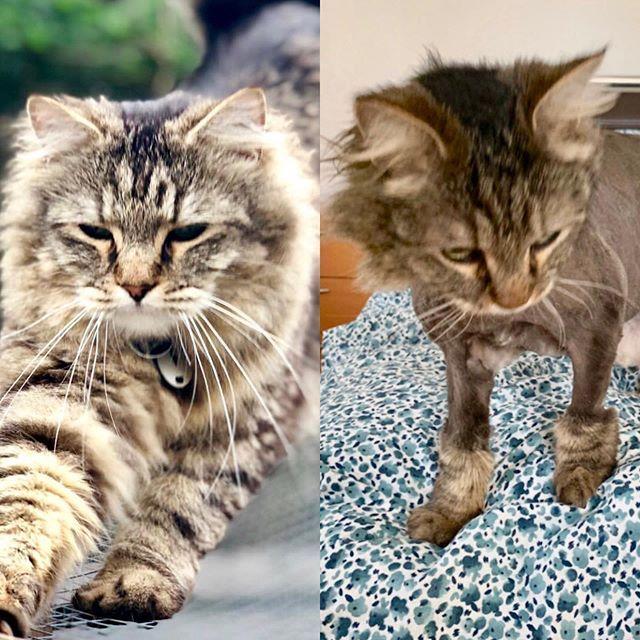 beb38ea9130280253634f09d95ad404d - How To Get Knots Out Of A Long Haired Cat