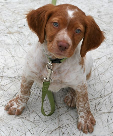 Brittany Spaniel - when we get a puppy, I hope it's just like this one.