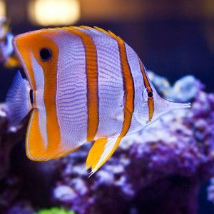 1000 images about saltwater fish on pinterest for Live saltwater fish