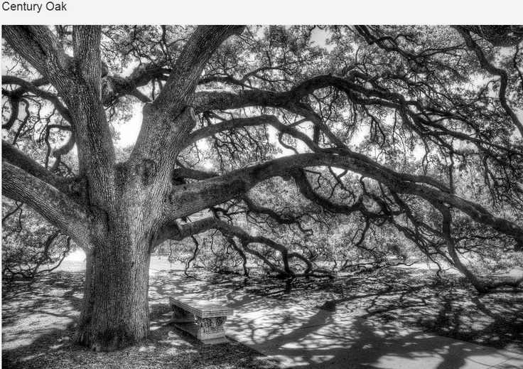 Texas A & M University Aggies. The Century Oak, located in the heart of Texas A Univeristy campus, is a place that holds a special place in the heart of many Aggies. Well over 100 years old, the tree, a live oak, was one of the first trees planted on the massive 5,200-acre campus. The tree has been the site of numerous marriage proposals, weddings and tourist snapshots because of its immense size and its unique drooping branches, many of which rest on the ground.Scott Norris, Century Oak, L'Wren Scott, Frames Prints, Photography Prints, Art Prints, Century Trees, 100 Years, Trees Plants