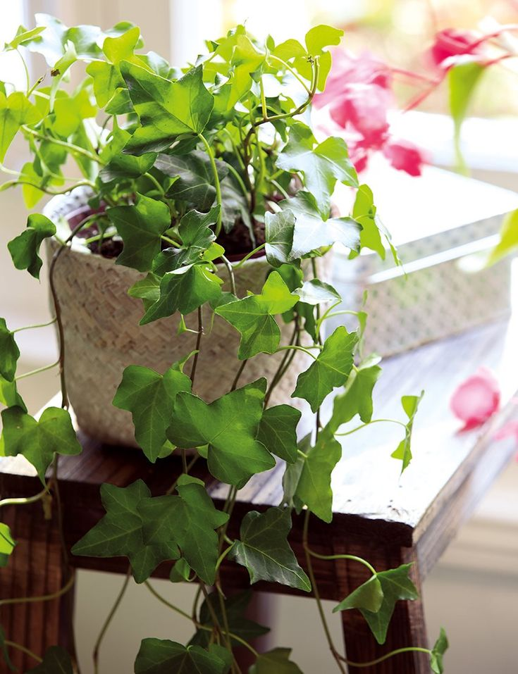 simple indoor plant - ivy in a pot Indoor Ivy, Indoor Plants, Green Corridor, Miss And Ms, Ivy Plants, Interior Plants, Modern Design, Lily, Passion