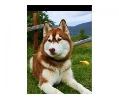 Siberian husky for sale in good amount
