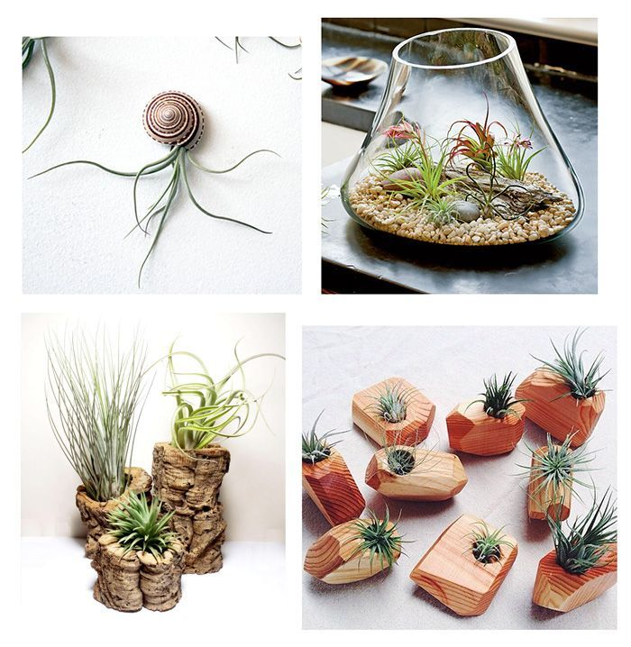 Plantas aéreas. mi nueva obsesión. Estas plantas son perfectas para decorar y necesitan pocos cuidados