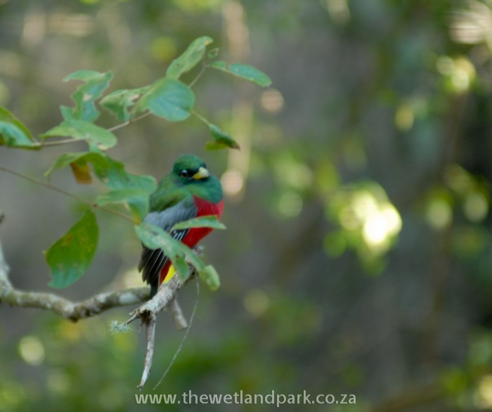 The elusive Narina Trogon has become a regular visitor to Umkhumbi Lodge (by visitor I mean torturer: he is driving us crazy when we can't see him, but we can hear him calling!)