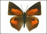 Butterflies - species definition