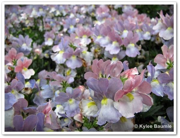 Opal Innocence® NemesiaGardens Ideas, Landscapes Ideas, Opals Innocent, Proven Winner, Gardens Plants