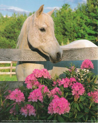 Absolutely stunning! This beautiful wall poster will definitely helps in creating a bright and cheerful ambience into your home or any space wherever you want to use this poster. This poster captures the image of beautiful white mare horse standing and watches Morgan flowers over the field which is sure to grab lot of attention. We offer durability and perfect color accuracy which keep long lasting beauty of the product. Order today and enjoy your surroundings.