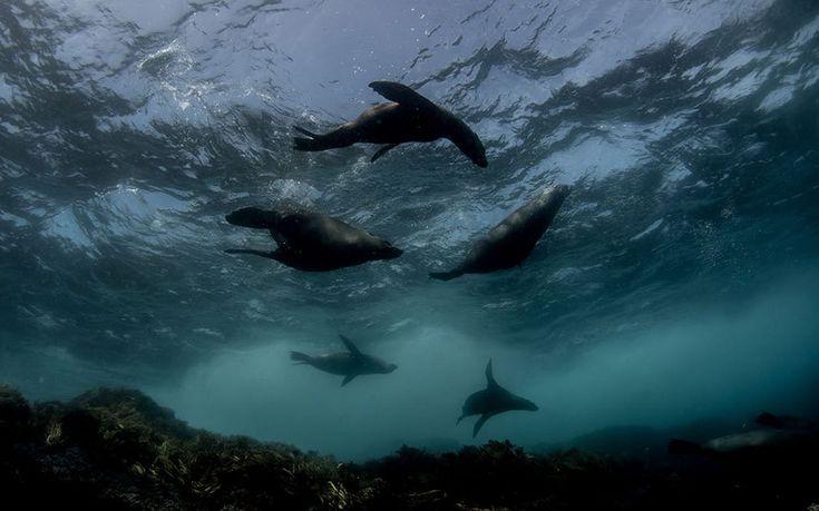 Seals - Michaela Skovranova's on going project Synchronicity explores life underwater