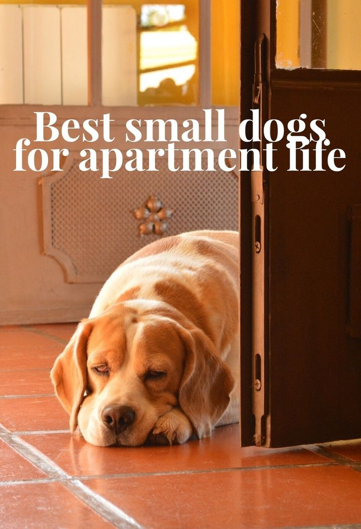 Small dogs are an apartment dwellers best friend. Small dogs are easy to walk, easy to play with, and they don't destroy everything the apartment!