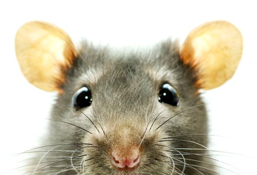how to stop mice from smelling