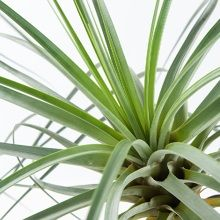 Green Lifestyle Store Kamerplant Tillandsia Airplant - Roest