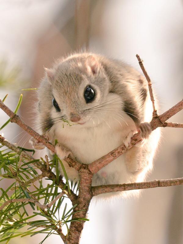 Flying squirrel, Hokkaido, Japan