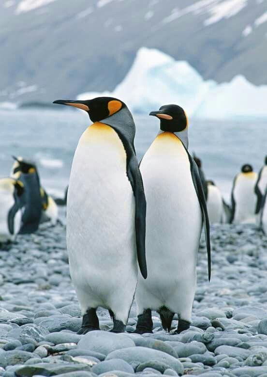 Pinguino Rey. Tierra del Fuego. Argentina
