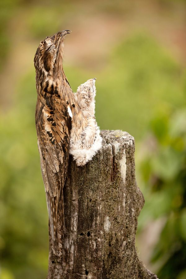 common potoo birds, the best pictures ideas of scary birds