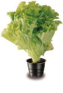 Ruukkusalaatti