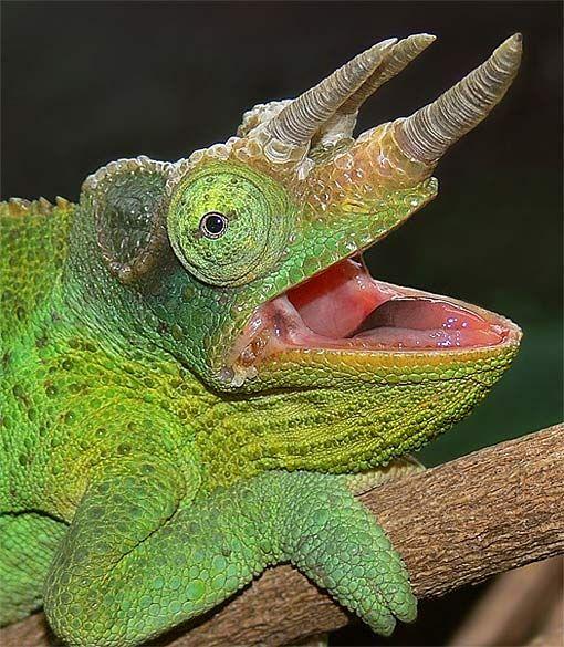 jacksons chameleon mouth open