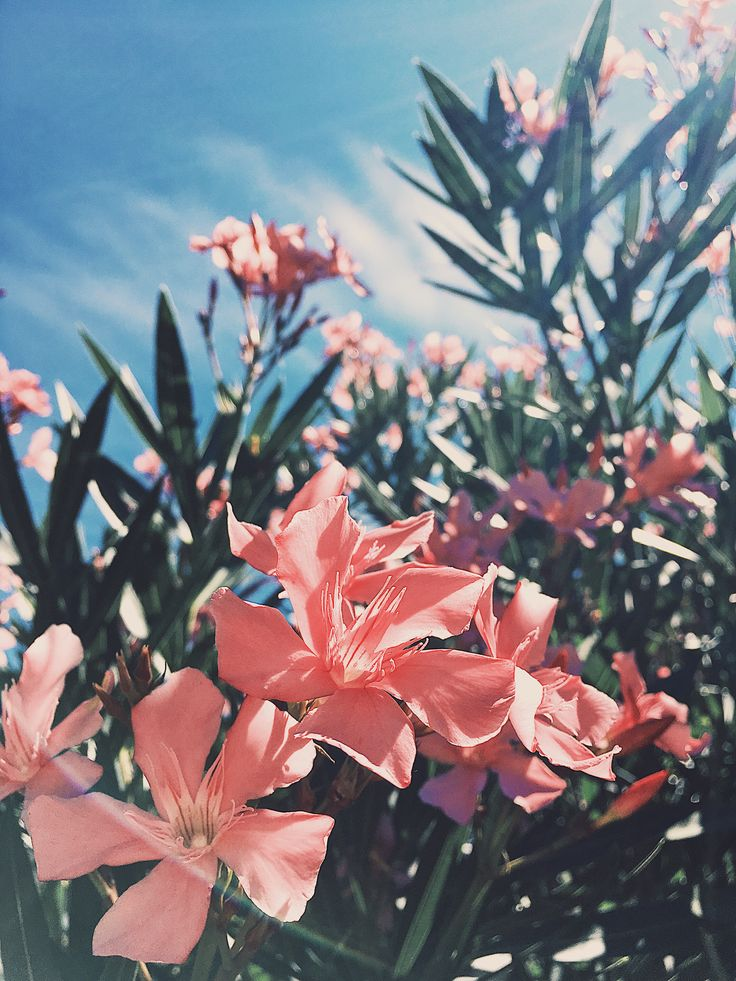 peachy pink flowers with the background of cloudy blue