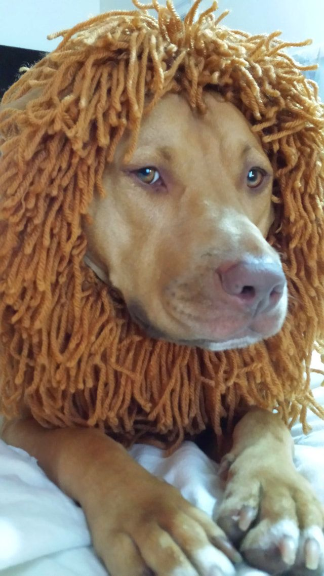 You Can Knit This Lion's Mane for Your Dog for Less Than $5