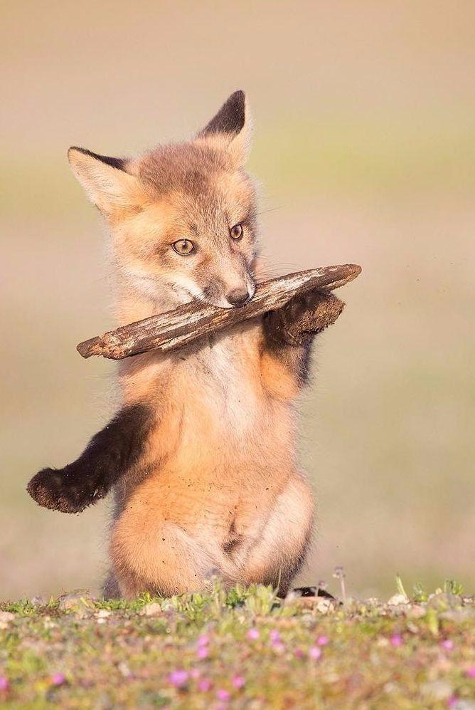 Red Fox Cub by Tin Man Lee