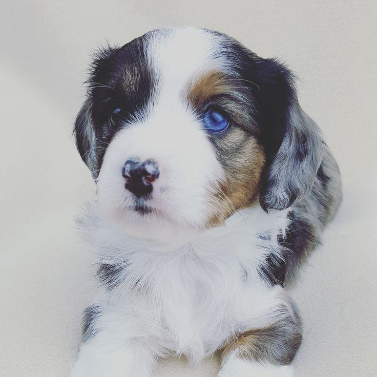 Aussalier Puppy Aussie Cavalier Mix