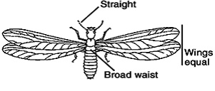 Winged termite (not an ant)