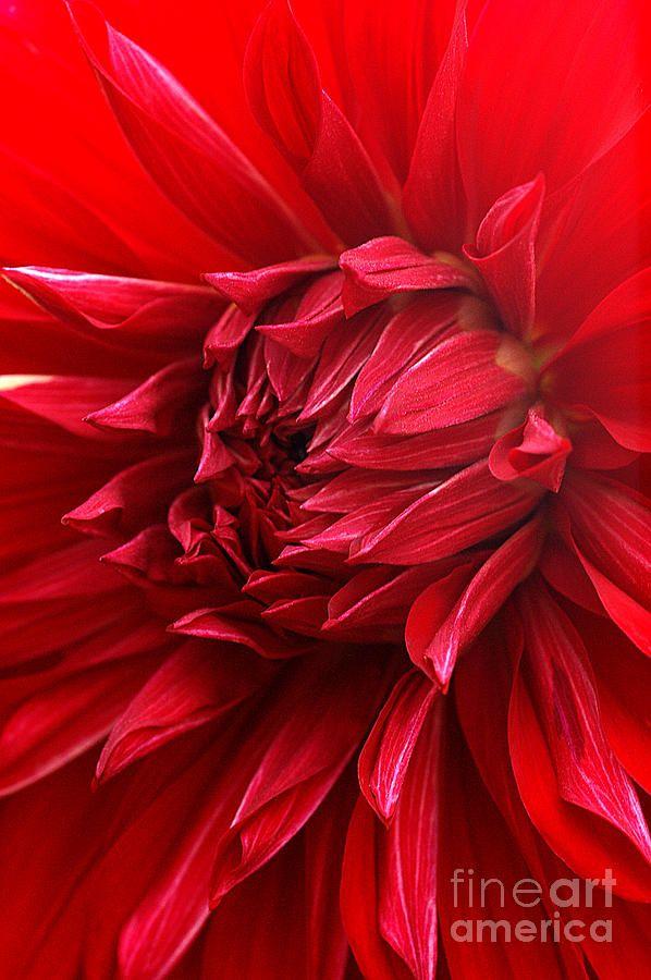 ✯ Red Dahlia