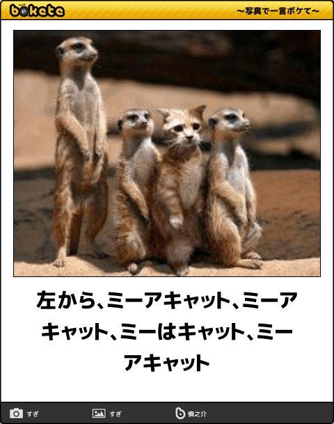 左から、ミーアキャット、ミーアキャット、ミーはキャット、ミーアキャット ...なんで紛れてんだよ