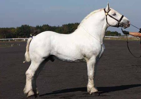 Boulonnais - stallion Pourquoi Pas