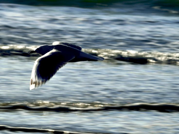 Gull in flight at early Sunrise light on Ohiwa Beach
