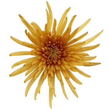 Brassy Yellow Spider Mum - Available Aug, Sept, Oct & Nov