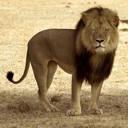 Never Again: Cecil's Murder Should Mark an End to Trophy Hunting in Zimbabwe Forever ... ... ...  Sign now to do your part to end trophy hunting in Zimbabwe!