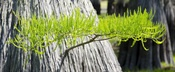 Cypress Benefits: rheumatism, poor circulation, asthma, bronchitis, menopause, colitis, prostate, stimulates pancreas, warming, stimulating, soothing, relaxing, for overactive sweat glands, edema, inhale for strength and comfort after a loss