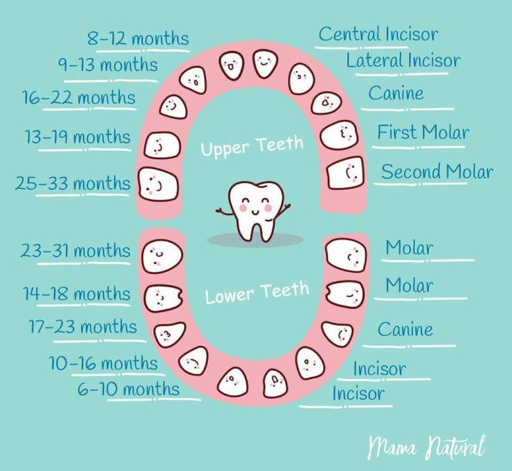 puppy baby teeth diagram