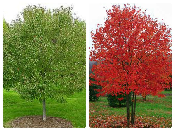 Acer Rubrum - Red Sunset Maple