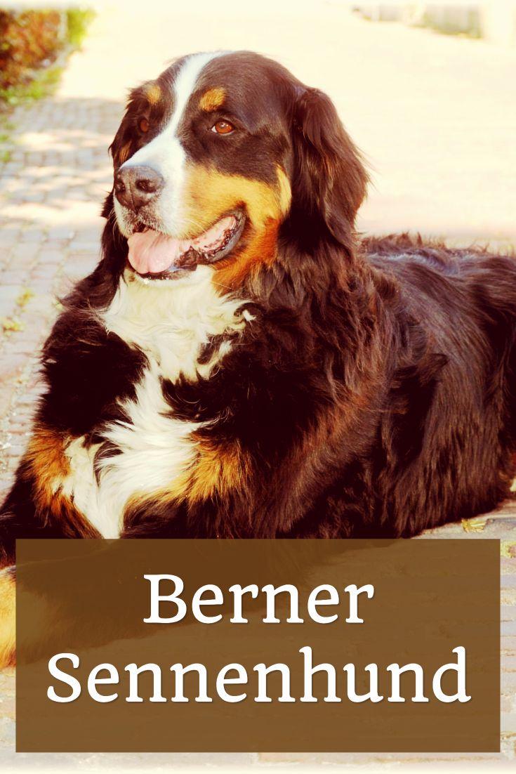 Berner Sennenhund - sanfter Riese mit vielen Qualitäten