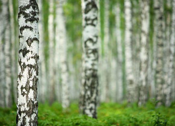Tunnetko Suomen kansalliset luontosymbolit? Kansalliskukka ja kansallislintu ovat varmasti monelle tuttuja, mutta tiedätkö, mikä on Suomen kansalliskala? Entä kansalliskoira? Testaa tietosi kuvavisassa!