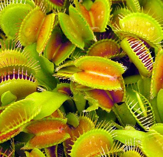 Hey, I found this really awesome Etsy listing at https://www.etsy.com/uk/listing/215532439/venus-fly-trap-10-seeds-dionaea