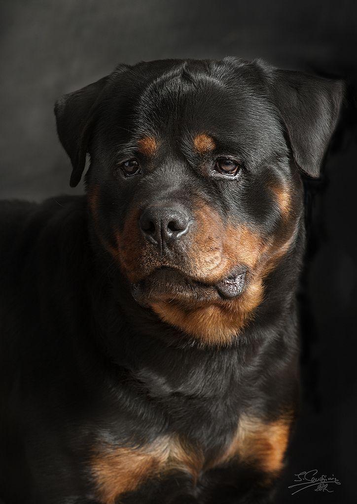 Rotweiler Flickr Photo Sharing Rottweilertattoo Dog Breeds