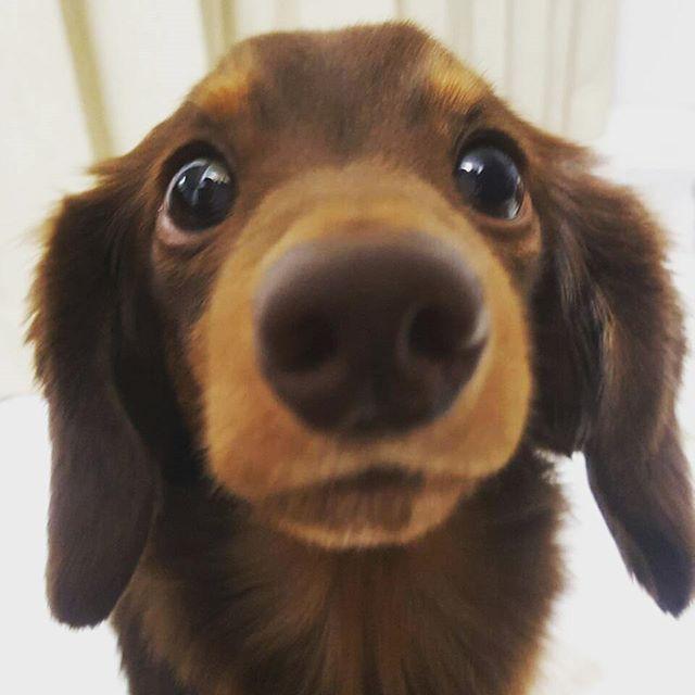 長男。まだおしっこをミスる。しっかり低い声で怒ることを心がけています。でもシートに片足でもはいっていたらなかなかおこれないものよね。妹ちゃんと彼は私がおこってるとき、逃げて隣の部屋に行きました。(-_-)#長男#カニンヘンダックスフンド#多頭飼い #ミニチュアダックスフンド#豆柴#まめしば#柴犬#黒豆しば#愛犬#愛犬バカ部#親バカ部 #犬大好き#家族#わんこは家族
