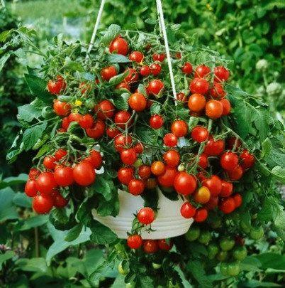 Tiny Tim, Miniature Heirloom Tomato, 100 Seeds, Teeny Fruit, Patio Plant,