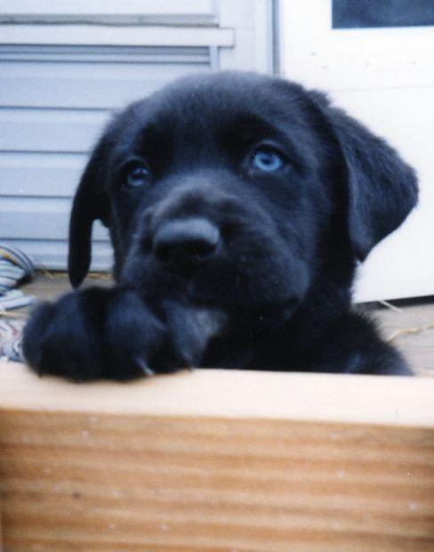 Pictures of lab black puppies