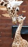 Young giraffes at Leipzig Zoo!